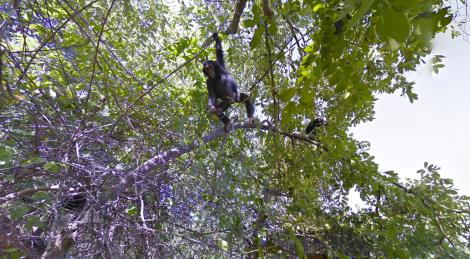 chimp-google-branch_verge_super_wide